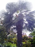 hefei_palm_tree_02
