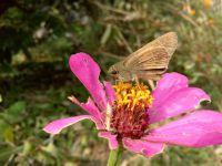 south_campus_1_moth_sipping_nectar_from_flower_autumn_2017_1