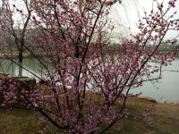 south_campus_1_spring_flower_tree_02