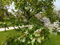 south_campus_1_spring_flower_tree_08