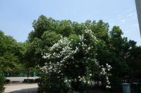 south_campus_1_summer_2019_foreign_students_quarters_2_flower_tree