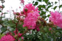 south_campus_2_flower_bush_summer_2017_5