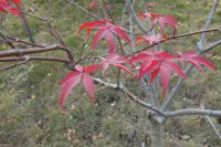 south_campus_2_red_autumn_leaves_2