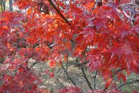 south_campus_2_red_autumn_leaves_6